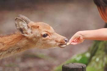 鹿せんべいを買って、鹿とふれあえたら楽しいですね♪鹿せんべいはじらさずにあげるのがポイントです!