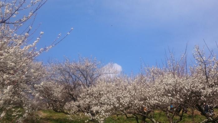 本沢梅園は、相模原市川尻財産区の敷地内にある梅園で、約1000本の梅が植樹されています。