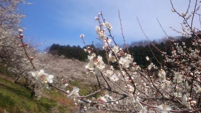 満開に開花した梅の花が、大地を桃色に染める様子は、まるで地上に天女の羽衣を敷いたかのようです。