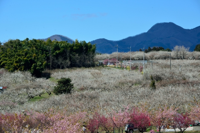 箕郷梅林は、東日本随一の梅の生産地である群馬県高崎市にある梅林で、なだらかな丘陵地帯に約10万本の梅が植樹されています。