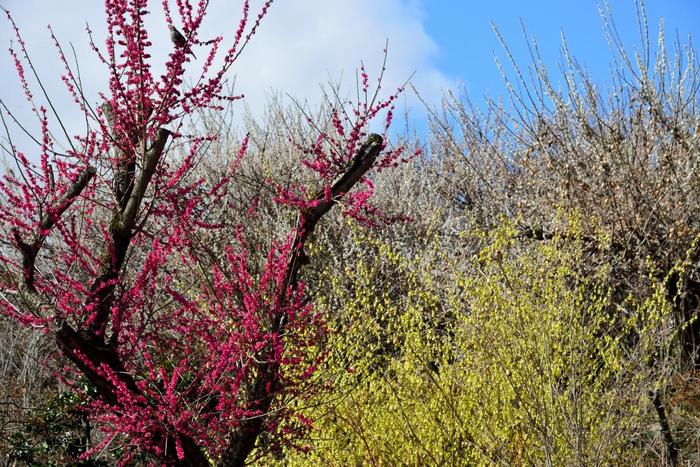 梅が見頃を迎える時季になると、白梅、紅梅、黄梅が競うように花を咲かせ、梅林は甘い香りに包まれます。
