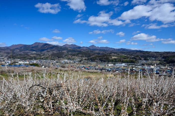 梅林からは標高1449メートルを誇る榛名山連山を一望することができます。抜けるような青空、美しい山容、のどかな山岳風景、満開に咲き誇る梅の花が織りなす景色は絶景そのものです。