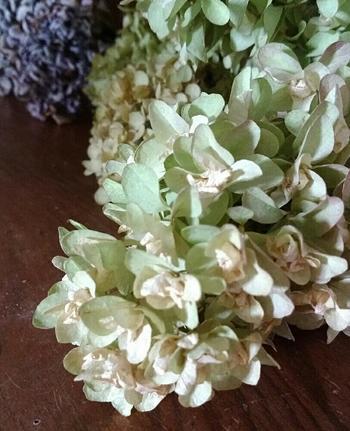 梅雨の時期だけでなく、いろいろな季節に手に入るようになったハイドランジア。立体的な花姿は一枝でもボリュームがあり、ドライにしたときのアンティークな褪色も素敵です。