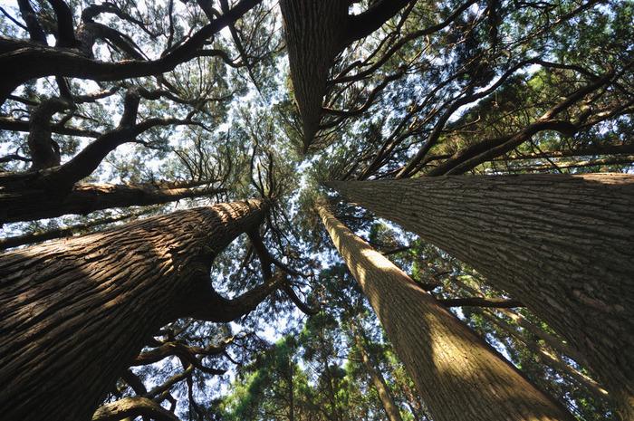 天を突くほど高く伸びた幹を覆う葉の間から差し込む木漏れ日と、悠久の時間を静かに刻み続ける杉の巨木が織りなす景色は、まるでこの地が神々の棲み家であるかのような神秘的な雰囲気を漂わせています。