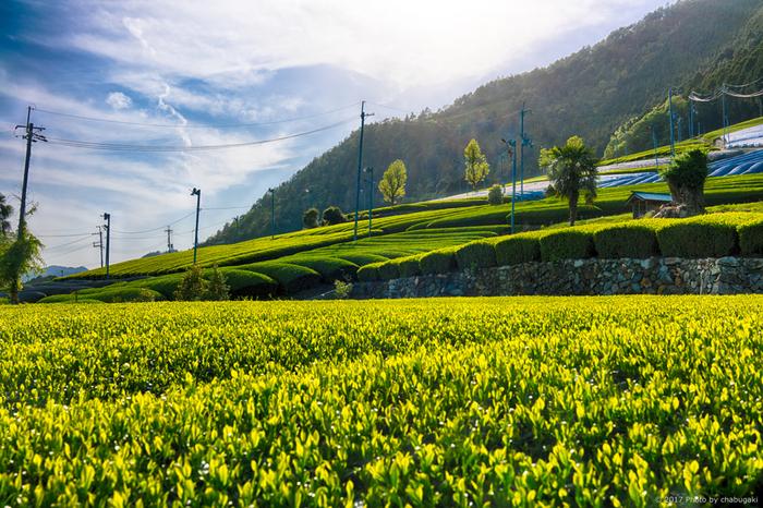 なだらかな丘陵地帯を覆い尽くす緑の茶畑と、のどかな里山風景が融和した独特の景観美から、和束町は「茶源郷」と呼ばれています。