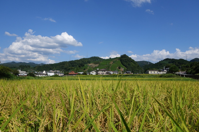 「人が輝き美緑(みりょく)あふれる郷 和束」を町の標語として掲げている和束町は、鎌倉時代から続く高級煎茶の産地です。