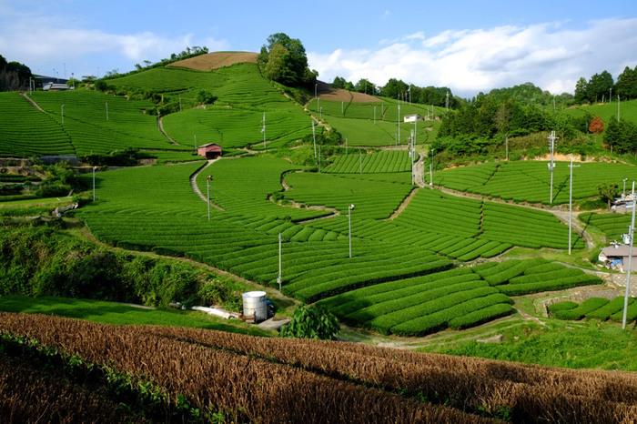 和束町最大の見どころは、「茶源郷」と形容される一面の茶畑です。なだらかな斜面を覆う緑の茶畑と周囲の集落が織りなす和束町の茶畑は、日本の原風景そのものです。