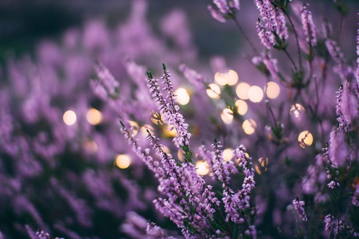 ラベンダーの香りはには、気持ちを静めてくれる効果が。お風呂上がりにラベンダーの香りのボディークリームを塗れば、ゆったりとしたリラックス感のまま眠りにつくことができます。