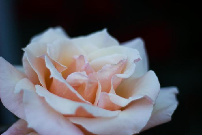 ローズの香りは、女性らしく華やかなイメージ。女性らしさを高めてくれる、エレガントさが魅力です。