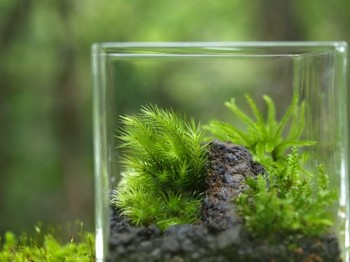 苔は土から養分を吸収することなく、水と光だけで成長するので、小さな鉢やガラスポットでのテラリウムづくりなどに向いています。窓辺やベッドサイド、デスクの上など、小さな空間のアクセントに気軽に取り入れることができますよ。