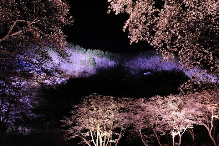 桜の開花時期に合わせて、屏風岩ではライトアップが開催されます。桜と、柱状節理の断崖が光を浴びて世闇に浮かび上がり、周囲は幻想的な雰囲気に包まれます。