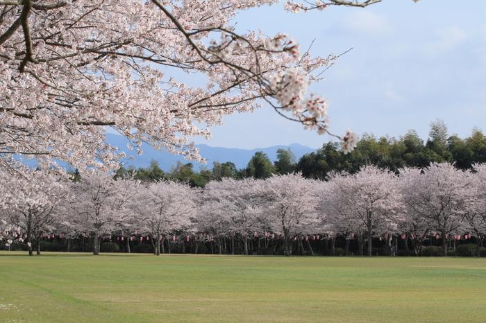 小高い丘の上にある忠元公園は古くから桜の名所として知られており、公園内には約1000本の桜が植栽されています。