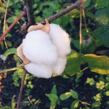 9月から11月が収穫時期。雨などに濡れてしまうと硬くなったりカビの元になったりするのでドライで利用する際は早めに摘み取る方が良いとのこと。よく乾燥させてから利用しましょう。