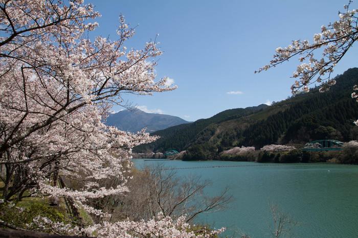 熊本県内を悠然と流れる球磨川上流部に位置する市房ダム湖は、1953年から7年の歳月をかけて造られた市房ダムによってできた人造湖です。桜の名所として知られる市房ダム湖畔には、約1万本の桜があり、毎年春になると満開の花を咲かせます。