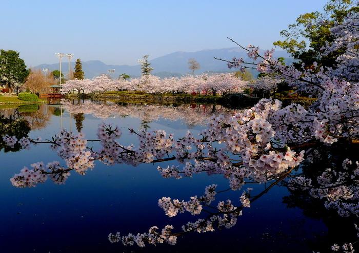 波一つない静かな池の水面は、鏡のように満開に咲き誇る桜を映し出し、池周辺は幻想的な雰囲気が漂います。
