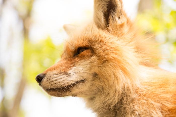 今回は、日本ではなかなかない、キツネに囲まれるスポット「キツネ村」をご紹介しました。自然豊かな場所なので、四季の移ろいとともにキツネの生態を楽しむことができますが、特に冬は、キツネがフカフカの冬毛に生え変わるので特におすすめの季節です。ぜひ一度、足を運んでみてくださいね。