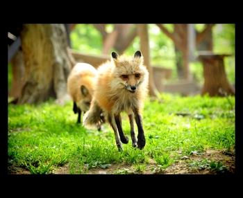こちらは、仲間と元気に野原を駆け回るキツネ。写真から躍動感が伝わってきますね。自然に近い状態でキツネが過ごしているため、このようなのびのびとした姿を見ることができるのです。