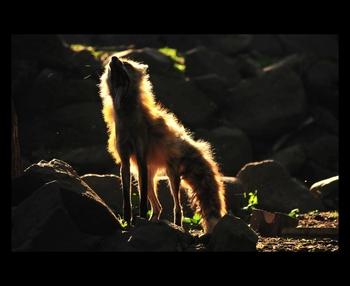 太陽の光をバックにした神々しいこちらの一枚。キツネが吠えている様子です。ワイルドな雰囲気が伝わってきますね。