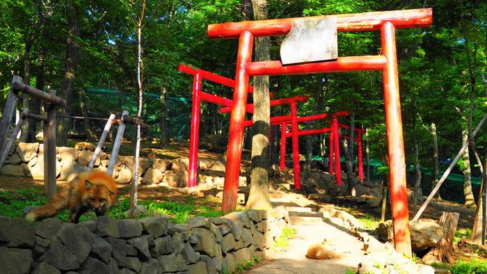 敷地内では至る所でキツネの可愛らしい姿を見ることができますが、中でも特にフォトジェニックな場所が、鳥居や稲荷神社。キツネとお稲荷さんが一緒に見れるスポットは、日本全国の中でも「キツネ村」でしか見られないのでは…?