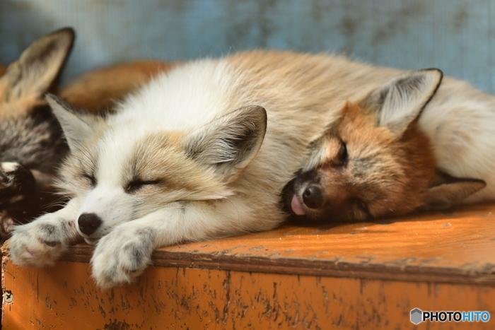キツネ村では、野性的な姿だけでなく、のんびりとくつろぐキツネの姿を見ることができます。この写真は、気持ちよさそうに眠っているキツネたちに、思わずほほが緩んでしまいそう。でも、よく見てみると下のキツネがちょっと苦しそう…?