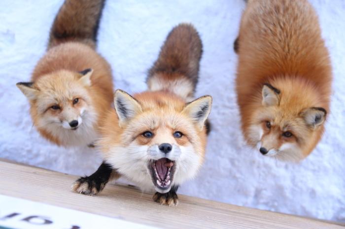 こちらは、餌やり場から撮った一枚。タイミングが合えば、キツネが餌をキャッチする瞬間を写真におさめることができます。