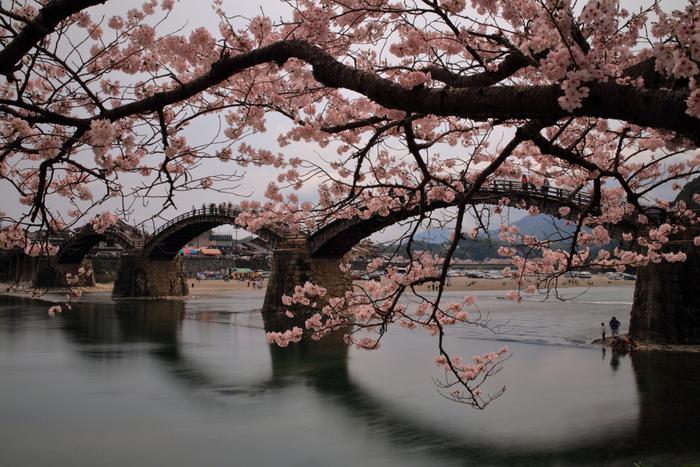 国の名勝に指定されており、日本三名橋(東京都の日本橋、長崎県の眼鏡橋、山口県の錦帯橋)の一つに数えられる錦帯橋は、1673年に建築された木造のアーチ橋です。錦帯橋周辺の土手には、ヤマザクラやソメイヨシノが植栽されており、毎年3月下旬から4月上旬にかけて見頃を迎えます。