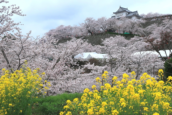 津山盆地の中央部に堂々たる姿を見せる津山城は、15世紀中頃に築城された国の史跡です。津山城跡周辺は、鶴山公園として整備されており、岡山県を代表する桜の名所として知られています。
