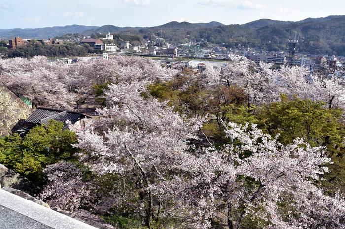 津山盆地を取り囲む周囲の山々、満開に咲き誇る桜の樹々が織りなし、津山城から眺める景色は絶景そのものです。