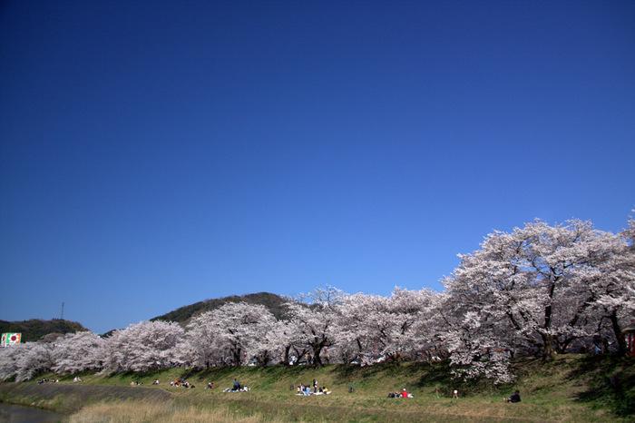 斐伊川は、鳥取県の船通山を水源とし、鳥取県と島根県を悠然と流れ、日本海と繋がる宍道湖に注ぎ出る一級河川です。雲南市木次町には斐伊川畔の堤防に約2キロメートル続く桜並木があり、桜の名所として親しまれています。