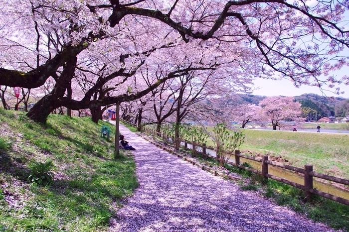 満開に花を咲かせた桜の大木が、堤防沿いの遊歩道を覆い、斐伊川堤防桜並木を歩いていると桜のトンネルに入り込んだかのような気分を覚えます。