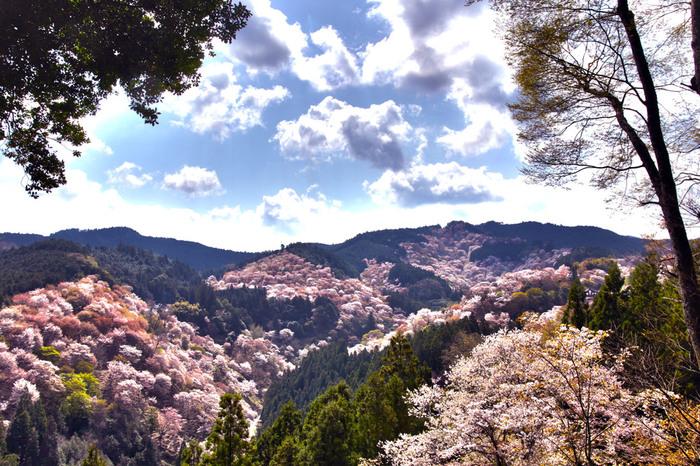 平安時代から桜の植栽が行なわれ続けている吉野山は、「日本一の桜」とも形容されており、吉野山、大峰山脈の尾根一体が桜色に染まります。