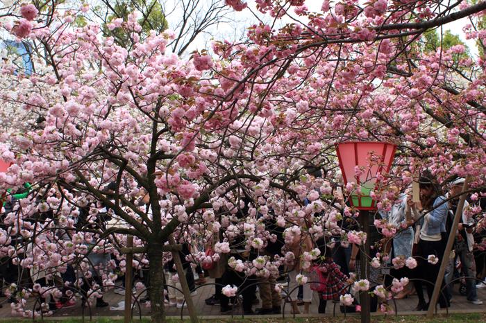 大阪造幣局には、134品種350本を超える桜が植栽されています。毎年恒例で行われる「桜の通り抜け」として大阪の春を彩る風物詩となっており、大勢の人々で賑わいます。