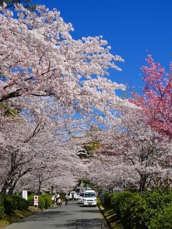 約3000本の桜は、毎年3月下旬から4月上旬にかけて次々と花を咲かせ、公園内は春爛漫とした雰囲気に包まれます。