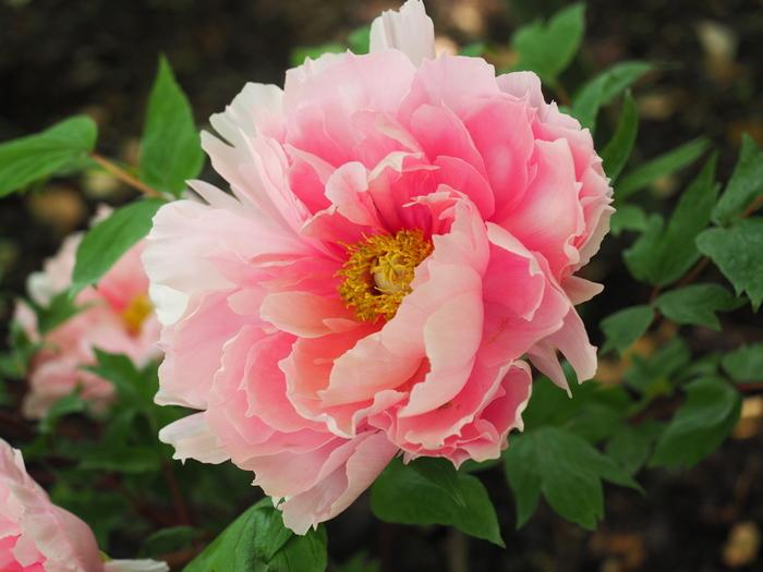 初候:葭始生(あしはじめてしょうず)4/20頃 水辺の葭が芽吹き始めるころ。 次候:霜止出苗(しもやんでなえいずる)4/25頃 霜が降りなくなり、稲の苗がすくすくと育つころ。 末候:牡丹華(ぼたんはなさく)4/30頃 「百花の王」と呼ばれる牡丹が、美しい花を咲かせるころ。
