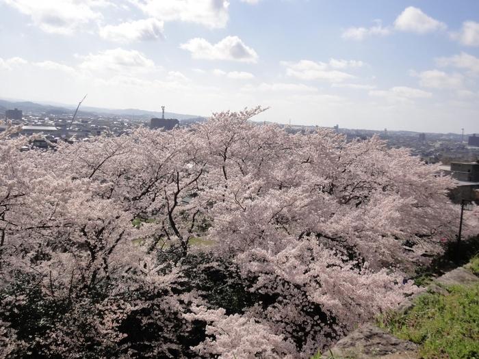 久松公園は、戦国時代に築城され、豊臣秀吉による秤量攻めに遭ったことで有名な鳥取城址近くの公園です。高台となっている公園からは、市街地と満開に咲き誇る桜を一望することができます。