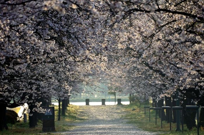 1978年に開園された都市公園、鏡野公園には約600本の桜が植栽されています。約200メートル続くソメイヨシノの並木が一斉に花を咲かせ、桜色のトンネルへ変貌する様は壮観です。