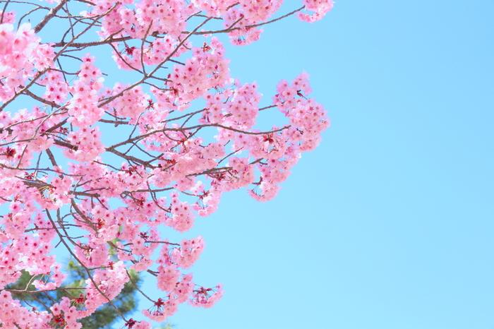 抜けるような青空と、桜色のコントラストの美しさは傑出しています。春爛漫の中で咲き誇る桜は、まるで地上に舞い降りた春そのもののようです。
