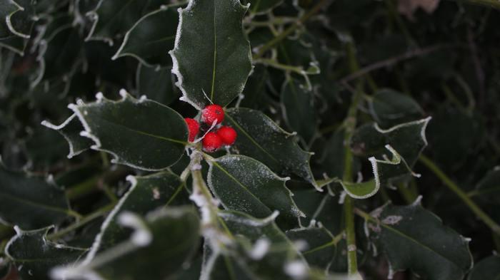 クリスマスでもお馴染みの柊は厄除けの木としても有名で、一昔前では敷地内の垣としてよく使われていたんですよ。ドラキュラにニンニクや十字架が良いと言われるように、鬼には柊なのだそう。クリスマス用に作ったスワッグを少しアレンジしても良いですね。