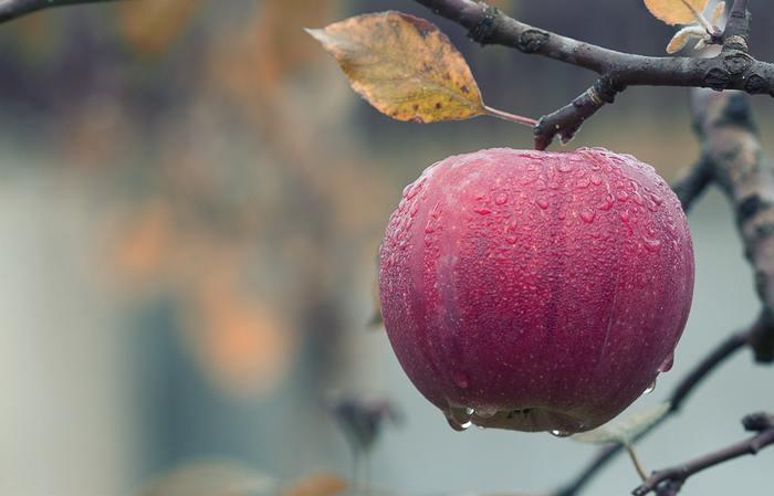"""以下では、""""リンゴ""""の健康・美容効果と、朝食向けの""""焼きリンゴ""""の基本レシピと簡単なアレンジレシピを紹介します。【画像は、青森・津軽藤崎町の紅玉りんご。熱を通して頂くのなら、酸味のきいた紅玉がオススメ。】"""