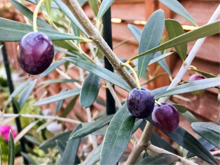 9月から11月頃にかけて実がなります。オリーブの木は自家受粉しませんので、実の収穫を楽しみたいなら、違う品種と併せて植えるといいですよ。実を付けるようになるまでは3年以上かかるので、購入する際は大きめの苗を選ぶと、早く収穫を楽しめるとか。