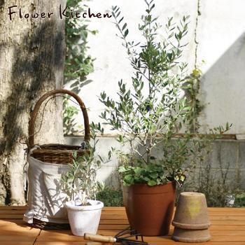オリーブの木は、鉢植えでも地植えでも育てることができます。鉢植えにすれば、バルコニーやお部屋で楽しむこともでき、とても身近な存在に。生活のスタイルに合わせて取り入れられるのもメリットです。