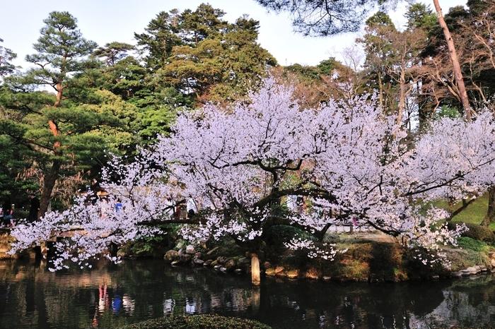 国の特別名勝・兼六園には、約420本の桜が植栽されています。満開に咲き誇る桜は、江戸時代における池泉回遊式庭園の代表作とも称される兼六園の美しさを引き立てています。