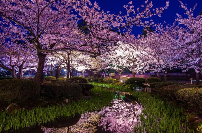 桜の開花時期に合わせて、兼六園では夜間のライトアップが開催されます。藍色の夜空、ライトを浴びて輝く淡ピンク色の桜、鏡のような池の水面が見事に調和し、夜の兼六園では幽玄閑寂とした雰囲気が漂います。
