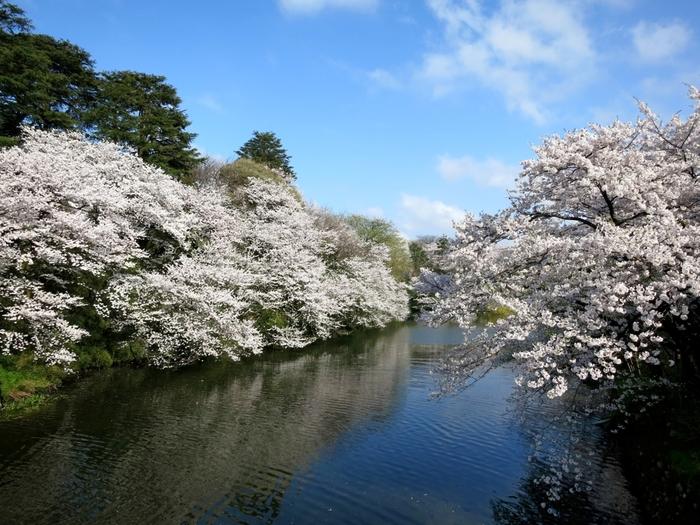 「日本100名城」の一つに数えられる高岡城の跡地に整備された高岡古城公園には、約18品種1800本の桜が植栽されています。高岡市中心部という立地の良さもあり、桜の開花シーズンになると、高岡古城公園は、大勢の花見客で賑わいます。