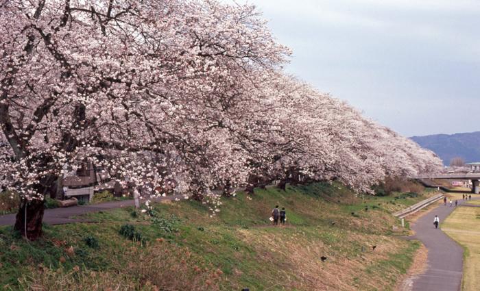 福井市中心部を悠然と流れる足羽川には、約2.2キロメートルに及ぶ桜並木があり、毎年4月上旬から中旬にかけて、見頃を迎えます。