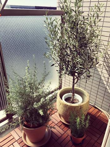 温かいイメージのあるオリーブの木は、バルコニーやベランダなども癒しの空間にしてくれますね。小さな椅子など置いて、ゆったり過ごしたくなります。