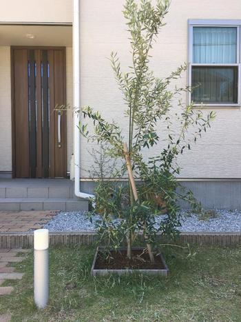 シンボルツリーとしても人気のオリーブの木。樹高5~10mくらいに育ちますので、植えるスペースには注意が必要。また、過湿に弱いため、水はけに気を付けましょう。ちなみに、寒さに弱いので、寒冷地では室内で育てるのがおすすめ。