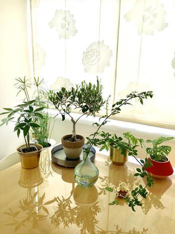 オリーブの鉢植えは、室内に置く場合もぜひ日当たりのいい場所に。暗い場所では丈夫に育たないのでご注意を。なお、鉢植えを日当たりのいいバルコニーに置く場合も、寒さに弱いので、冬には室内の明るい所に取り込みましょう。