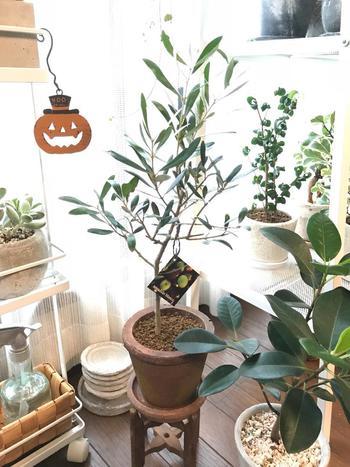 樹形のいいオリーブの木は、それだけで素敵なインテリアになります。リビングなどの窓辺に置けば、その優しい存在感にほっと癒されることでしょう。