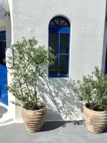 ヨーロッパや地中海のオシャレな家をイメージさせるホワイトとオリーブの木の組み合わせは抜群です。鉢植えなら、大きさもキープできるので、配置しやすいかもしれませんね。